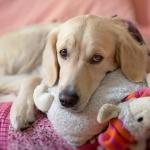 Pseudogestación en perras